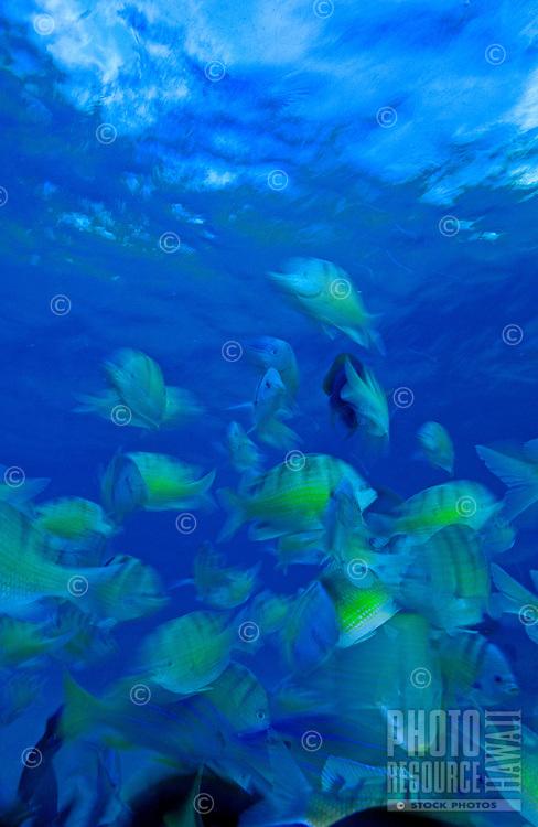 School of Hawaiian sergeant fish (abudefduf abdominalis) taken at Hanauma bay marine sanctuary