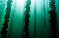 Thau pond oyster and mussels, underwater view, France