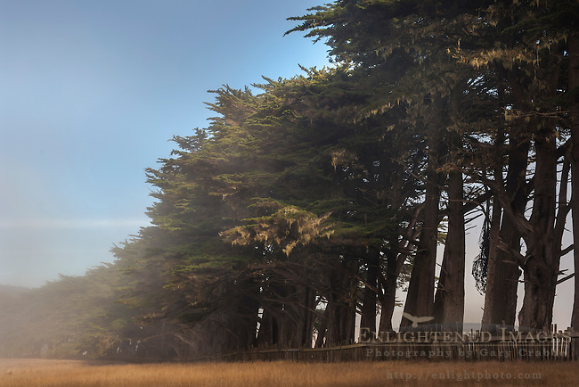 Cypress Trees form wind break along the California Coast; near Point Arena; California