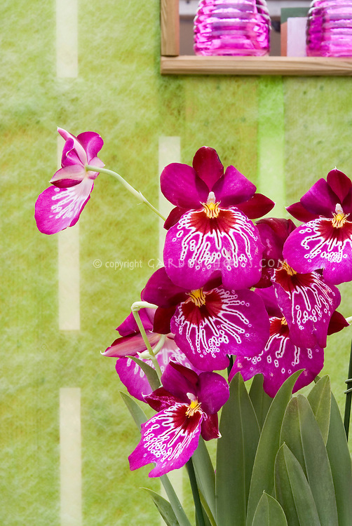 Miltoniopsis Orchid hybrid against pretty wall and window. Miltonia Miltoniopsis Mario van Peebles, waterfall type orchid vivid pink, genus is native to Central and South America. Pansy Orchid.
