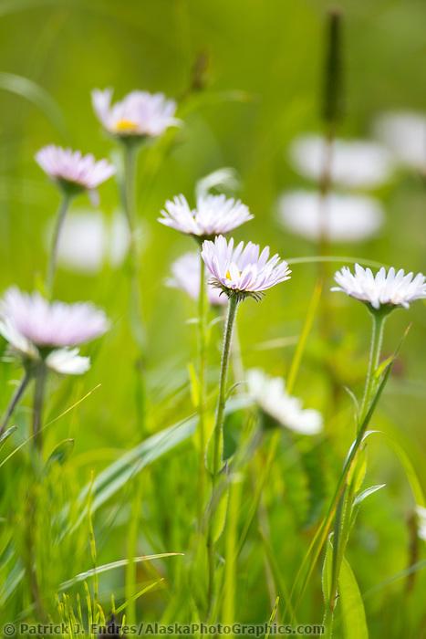Aster wildflowers, Cape Douglas, Katmai National Park, Alaska Peninsula, southwest Alaska.