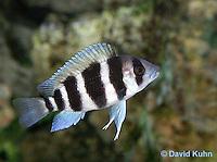0116-0911  Five-Bar Lamprologus Cichlid (Five-bar Cichlid) Lake Tanganyika Cichlid, Neolamprologus tretocephalus  © David Kuhn.