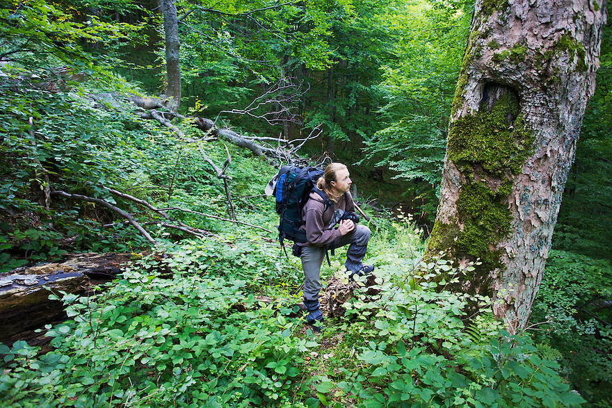 """Kamil Soos (NGO """"Wolf"""") standing besides the trunk of a very old (>300 years) Sycamore maple (Acer pseudoplatanus) growing in Jarabá Skala Nature Reserve. Mount Durkovec (1189 m), Runina area, Slovakia."""