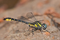 333900013 a wild male banner clubtail dragonfly gomphus apomyius perches on a rock along indian creek jasper county texas united states