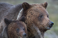 Grizzly Bears, Blaze and cub her cub Hobo at Marys Bay in Yellowstone National Park.