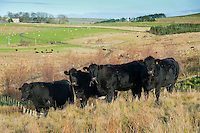 Aberdeen Angus heifers and bull, Northumberland.