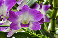 Pink Purple Orchid, HDR, Tropical Flowers, Miami Beach<br /> <br /> CLICK ON ADD TO CART ABOVE TO SEE AVAILABLE STYLES, SIZES AND PRICES