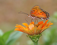 The Passion Butterfly AKA Gulf Fritillary (Agraulis vanillae) is a striking, bright orange butterfly of the family Nymphalidae.