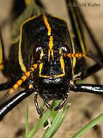 0913-0812  Adult Horse Lubber Grasshopper - Taeniopoda eques © David Kuhn/Dwight Kuhn Photography.