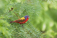 Painted Bunting (Passerina ciris), male singing, Sinton, Corpus Christi, Coastal Bend, Texas, USA