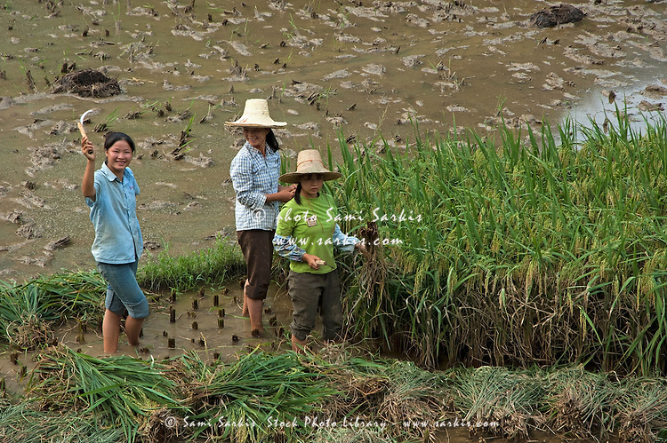 Three girls harvesting in a rice paddy, Yangshuo, Guangxi, China.