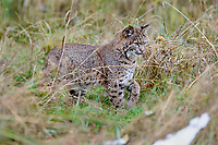 Wild Bobcat (Lynx rufus) stalking through overgrown meadow.  Olympic National Park, WA.  November.  (Completely wild, non-captive cat.)  Patches of old snow.