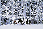 Open-range horses, Methow Valley, Washington, USA