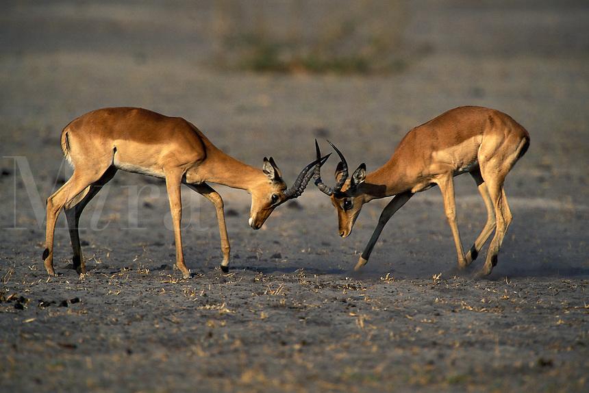 Impala, Aepyceros melampus, Okavango Delta, Botswana, Africa