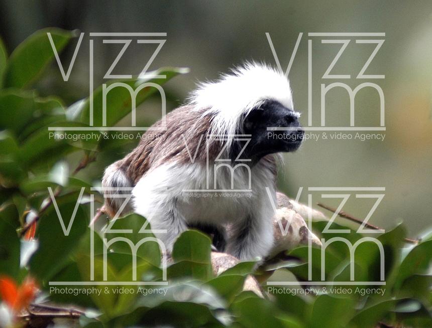 CALI-COLOMBIA-21-03-2003-. Aunque el mico Titi cabeciblanco es abundante en cautividad con poblaciones tanto en zoológicos como instituciones de investigación por todo el mundo, este es uno de los primates con más peligro de extinción en su hábitat nativo de Colombia.  lthough the cotton-top tamarin monkey is abundant in both populations captivity in zoos and research institutions worldwide, this is one of the most endangered primate species in their native habitat in Colombia. (Photo: VizzorImage/Luis Ramirez)...................