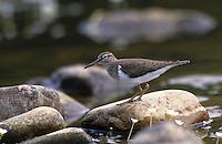 Fluss-Uferläufer, Fluß-Uferläufer, Flussuferläufer, Flußuferläufer, Actitis hypoleucos, Tringa hypoleucos, common sandpiper