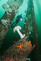 TA0847-D. scuba diver (model released) swims through pier pilings at Argonaut Wharf in Campbell River on Vancouver Island. Giant Plumose Sea Anemones (Metridium farcimen) and Blood Sea Star (Henricia leviscula) make this artificial reef home. British Columbia, Canada, Pacific Ocean.<br /> Photo Copyright &copy; Brandon Cole. All rights reserved worldwide.  www.brandoncole.com