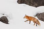 An individual red fox licks its lips while walking among the rocks on a snowy hillside searching for prey.