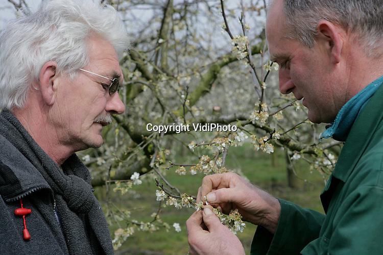 Foto: VidiPhoto..HERVELD - Fruitteler Toon Viliers (r) uit Herveld in de Betuwe inspecteert vrijdag de bloesem van zijn pruimenbomen. De nachtvorst van de afgelopen week heeft flink huisgehouden onder het fruit. Bij Viliers is zeker 80 procent van de bloesem van de Reine Victoria (pruimensoort) kapot gevroren. Veel fruittelers hebben vorstschade, ook bij de peren en -in mindere mate- de appels. Oorzaak is te laat of niet beregenen doordat de kracht van de nachtvorst flink is onderschat.