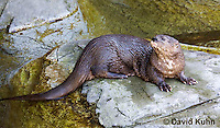 0507-1004  African Spot-necked Otter, Lutra maculicollis  © David Kuhn/Dwight Kuhn Photography.