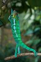 male panther chameleon standing straight up on branch