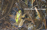 02434-002.03 Cricket Frog (Acris crepitans) in wetland, Marion Co.  IL