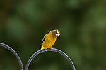 Male evening grosbeak in northern Wisconsin.