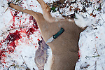 A young buck in the process of being field dressed on Sunday, December 4, 2011 in Webster City, IA.