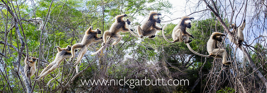 Golden-crowned Sifaka (Propithecus tattersalli) leaping through forest canopy. Forests adjacent to the village of Andranotsimaty, near Daraina, northern Madagascar. (Critically Endangered) Composite image - 6 frames stitched together to show leaping sequence.