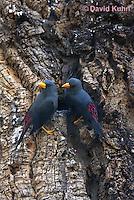 0728-1001  Pair of Grosbeak Starlings Tending Nest (Grosbeak Myna or Scissor-billed Starling), Southeast Asian Bird, Scissirostrum dubium  © David Kuhn/Dwight Kuhn Photography