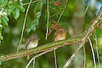 White-whiskered Puffbirds, Lamanai, Belize