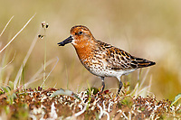 Adult male Spoon-billed Sandpiper giving rhythmically repeated calls. Chukotka, Russia. June.