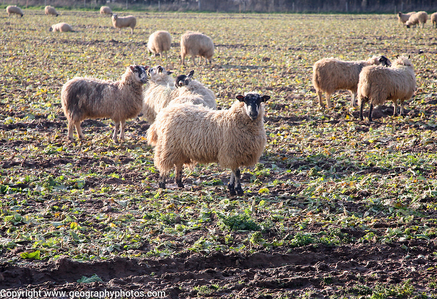 Sheep graze field of brassica stalks, Boyton, Suffolk, England