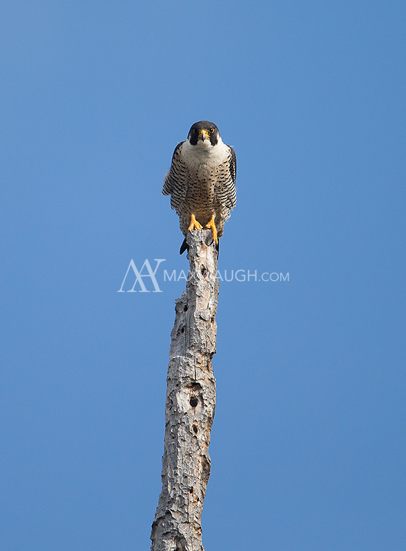This was my closest Peregrine encounter in Yellowstone.