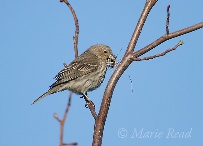 House Finch (Carpodacus mexicanus), female carrying nest material, Interlaken, New York, USA