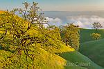 Coast Live Oaks, Quercus agrifolia, Los Padres National Forest, Big Sur, Monterey Co.psd