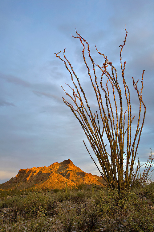 Pinkley Peak and ocotillo in Organ Pipe Cactus National Monument, Arizona