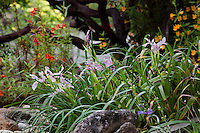Pacific Iris flowering by rocks in Kyte California native plant garden by dark branches of manzanita