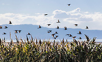 On some secret cue, known only to them, these birds took to the air in unison, all flying the same direction.  They quickly settled into the limbs and branches of nearby brush along the southern shores of the Great Salt Lake.