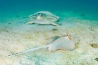 blue-spotted stingray, Neotrygon kuhlii, and Australian flatback sea turtle, Natator depressus, endemic to Australia and southern New Guinea, Australia