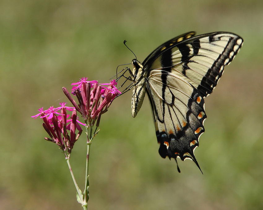 The Tiger Swallowtail butterfly (Papilio glaucas) is a strong flier with distinctive yellow and black striped markings on its wings and body.