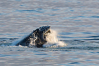 humpback whale, Megaptera novaeangliae, lunge feeding on capelin, Mallotus villosus, in calm sea, Edgeoya, Svalbard, Norway, Arctic Ocean