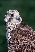528003005 a captive prairie falcon falco mexicanus portrait california united states