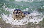 USA; California; La Jolla; San Diego; A baby seal surfing in La Jolla