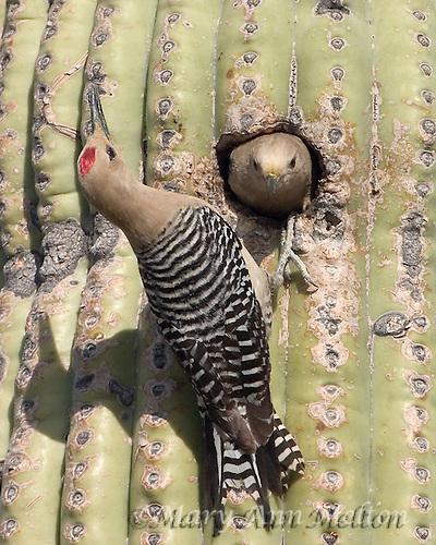 Gila Woodpecker, Tucson Mountain Park, Arizona