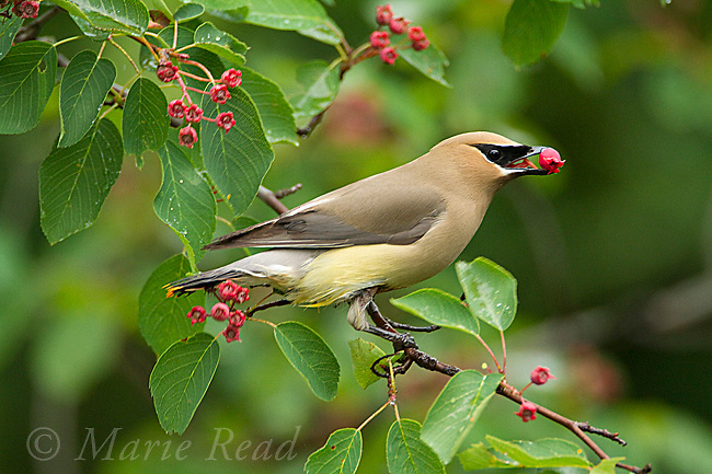 Cedar Waxwing (Bombycilla cedrorum), feeding on Serviceberry (Amelanchier sp.) fruit in early summer, New York, USA