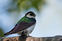 An adorable Violet-green swallow takes a break from feeding on insects on a tree branch in Hope, Alaska.