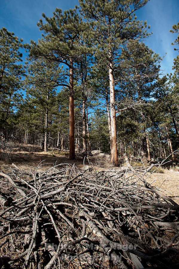 Trees in the Arapahoe-Roosevelt National Forest near Pinewood Springs, Colorado, Wednesday, February 1, 2012. National Forests in Colorado could, under rule making now going on in the Obama administration, have much reduced protections from development than the rest of the nation under the so-called roadless rules, proposed in the Clinton administration, and recently vindicated by a federal appeals panel..Photo by Matt Nager