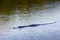 Alligator drifting along Turner River, Everglades, Florida, USA