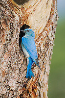Mountain Bluebird (Sialia currucoides), male at nesting cavity, Rocky Mountain National Park, Colorado, USA